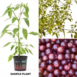 Chiltepin Cappuccino BIO Chilipflanze