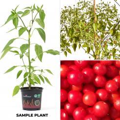 Chiltepin Rojo Organic Chilli Plant