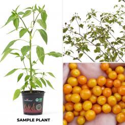 Chiltepin Amarillo Organic Chilli Plant