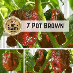 7 Pot Brown / Seven Pot Brown Chilli  seeds