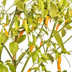 Criolla Sella Chilli Seeds