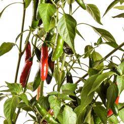 Devil Serrano Chilli Seeds