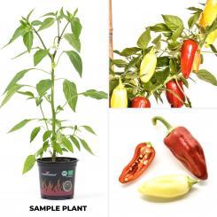 Floral Gem Organic Chilli Plant