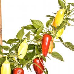 Floral Gem Chilisamen