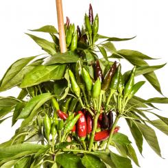 Guarda Cielo Chilli Seeds