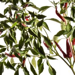 Guindilla Chilli Seeds