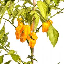Habanero Yellow Chilli Seeds