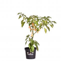 Habanero Naranja BIO Chilipflanze