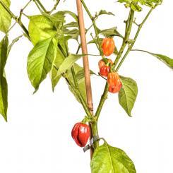 Habanero Saint Martin Seeds