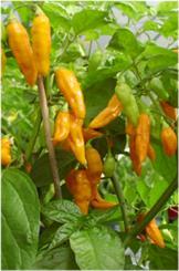 Habanero Datil Chilli Seeds