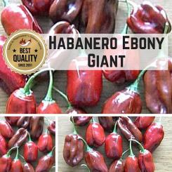 Habanero Ebony Giant Chilli Seeds