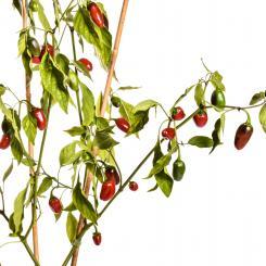 Jalapeno Gigantia Chilisamen