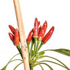 Kusburnu Chilisamen