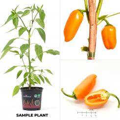 Lunchbox Pepper Orange BIO Chilipflanze
