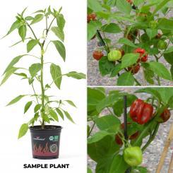Rocoto Machu Picchu Amarillo Organic Chilli Plant