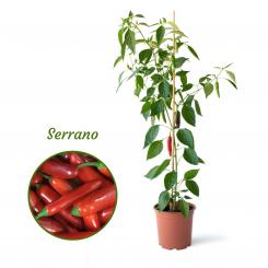 Serrano Mega Organic Chilli Plant