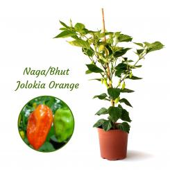 Naga/Bhut Jolokia Orange Mega BIO-Chilipflanze