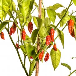 Naga/Bhut Jolokia Red Chilisamen