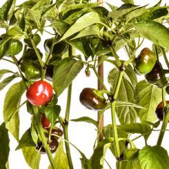 Ñora Chilli Seeds