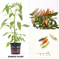 NuMex Easter Organic Chilli Plant