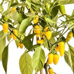 NuMex Jalapeno Lemon Spice
