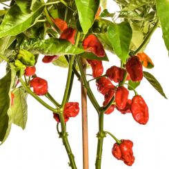 NuMex Suave Red Chilli Seeds