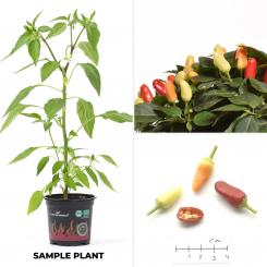 NuMex Valentine´s Day Organic Chilli Plant