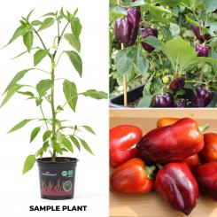 Oda Pepper BIO Chilipflanze