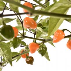 Orange Lantern Chilli Seeds