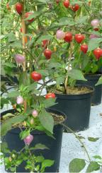 Pimenta Barra do Ribeiro Chilli Seeds
