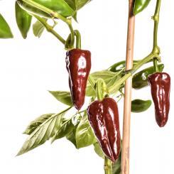 Piquillo Marrón Chilli Seeds
