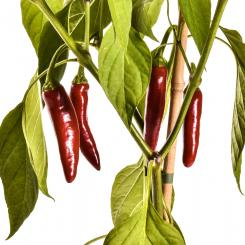 Poot Pepper Chilisamen