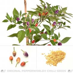 Purple Ghepard delight Chili Seeds