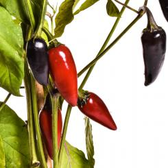 Purple Jalapeno Chilisamen