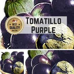 Tomatillo Purple  (Physalis ixocarpa) Seeds