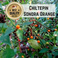 Chiltepin Sonora Orange Organic Chili Plant
