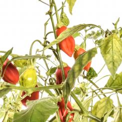 Rain Forrest Chilli Seeds