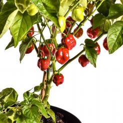 Red Savina Chilli Seeds