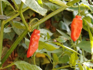 Rocoto Aji Largo Chilli Seeds