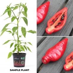 Rocoto Cuello Rojo Ollanta Organic Chilli Plant