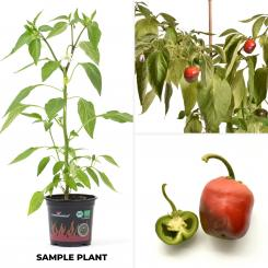 Rocoto Giant Red Organic Chilli Plant