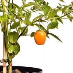 Rocoto Canario Chilli Seeds