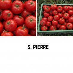 S. Pierre Tomatensamen (Fleischtomate)
