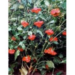 Rocotillo Chilli Seeds
