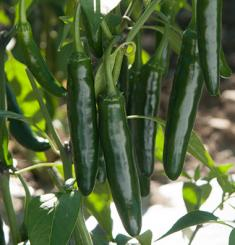 Hot Rod F1 Chilli Seeds