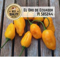 El Oro de Ecuador (PI585244) Chilli Seeds