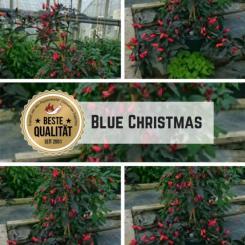 Blue Christmas Chilli Seeds