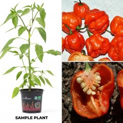 Sweet Moruga BIO Chilipflanze