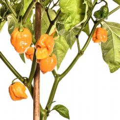 Trinidad Moruga Scorpion Yellow Chilli Seeds