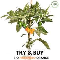 BIO Habanero Orange Chilisamen - Try & Buy